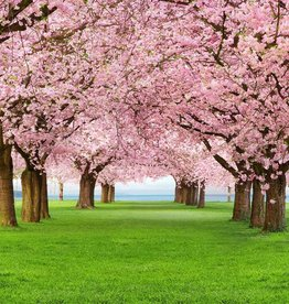 Fotobehang Cherry Trees 183x254 cm