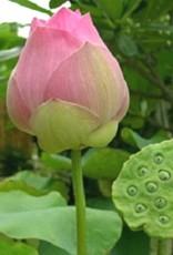 Lotus Flower Pink/ per stuk