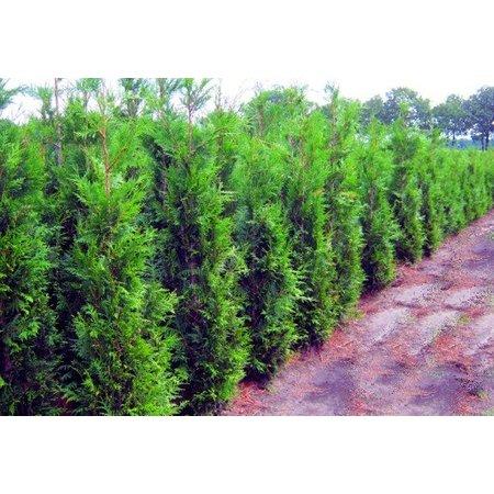 Conifera thuja Plicata Martin (100 cm/120 cm)