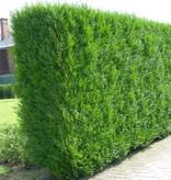 Conifera thuja Plicata Martin (140 cm/160 cm)