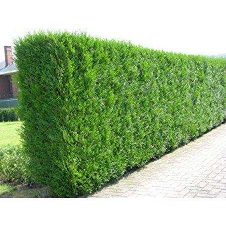 Conifer Thuja Plicata Martin (160cm/180cm)