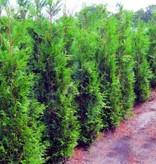 Conifera thuja Plicata Martin (160 cm/180 cm)