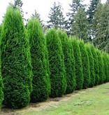 Conifer Thuja Smaragd (140cm/160cm)