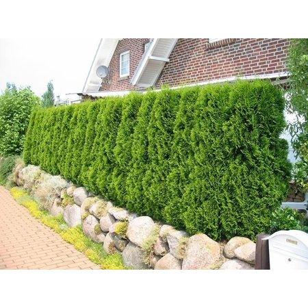 Conifer Thuja Smaragd  (160cm /180cm)