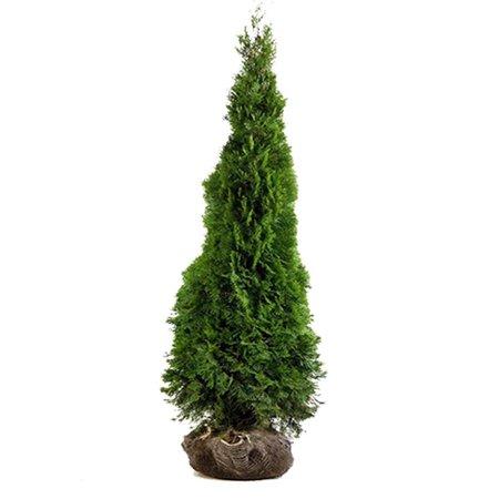 Conifer Thuja Smaragd (80cm/100cm)