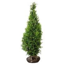 Lebensbaum Thuja Brabant (80cm/100cm)