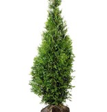 Conifera thuja Brabant (100 cm/120 cm)