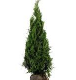 Conífera Thuja Plicata Martin (160cm/180cm)
