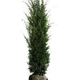 Taxus Baccata (80cm/100cm)