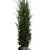 Taxus Baccata (160cm/180cm)