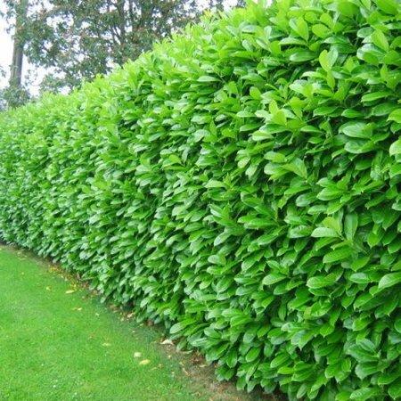 Prunus Laurocerasus Novita (80cm/100cm)