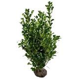 Prunus Laurocerasus Novita (100cm/120cm)