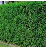Conifer Cupressus Leylandii (100cm/125cm)