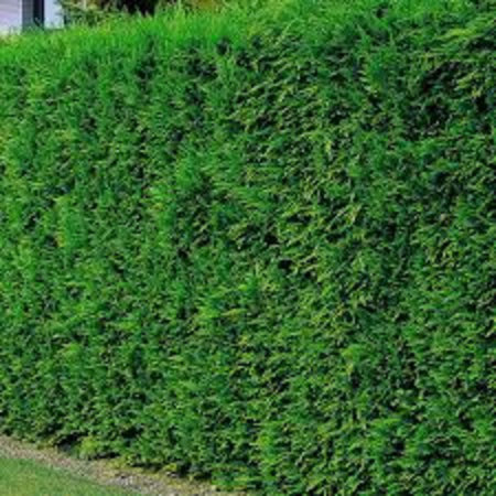 Conifer Cupressus Leylandii (125cm/150cm)