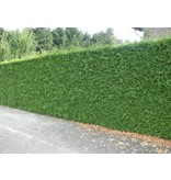 Thuja Plicata Excelsa (100cm/120cm)