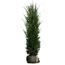 Taxus Media Hicksii (80 cm/100 cm)