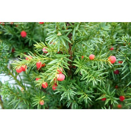 Taxus Media Hicksii (80cm/100cm)