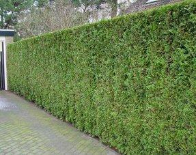 Conifers Thuja Emerald