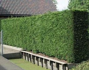 Conifers Cypress Leylandii