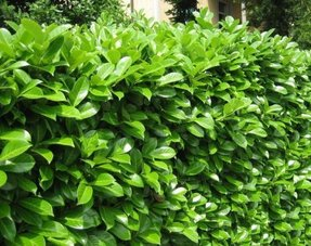 Hedge Prunus L. Novita