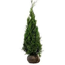 Conifer Thuja Plicata Martin 2.9ft / 5,2ft (120cm/140cm) High