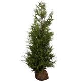 Thuja Plicata Excelsa (120 cm/140 cm)