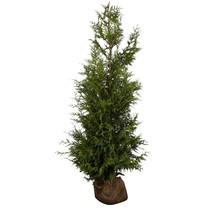 Conifer Thuja Plicata Excelsa (120cm/140cm)