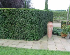 Hedge Taxus Baccata