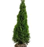 Conífera Thuja Smaragd (120cm/140cm)