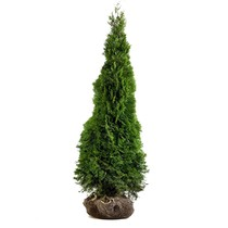 Conifer Thuja Emerald 3.9ft / 4.6ft (120cm/140cm)