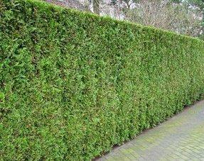 Conifere thuja Brabant