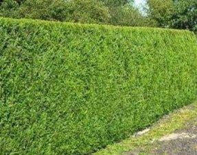 Conifere thuja plicata Excelsa