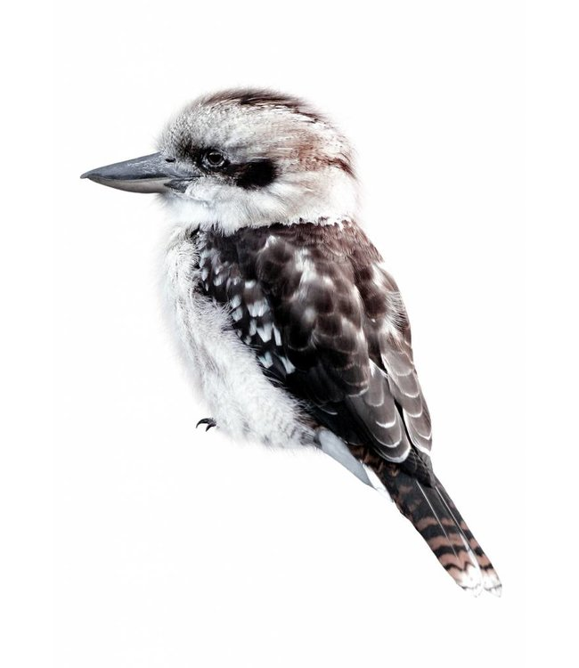 Wandtattoo Kookaburra, 15 x 17 cm