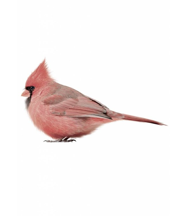 Wandtattoo Cardinal, 17 x 9 cm