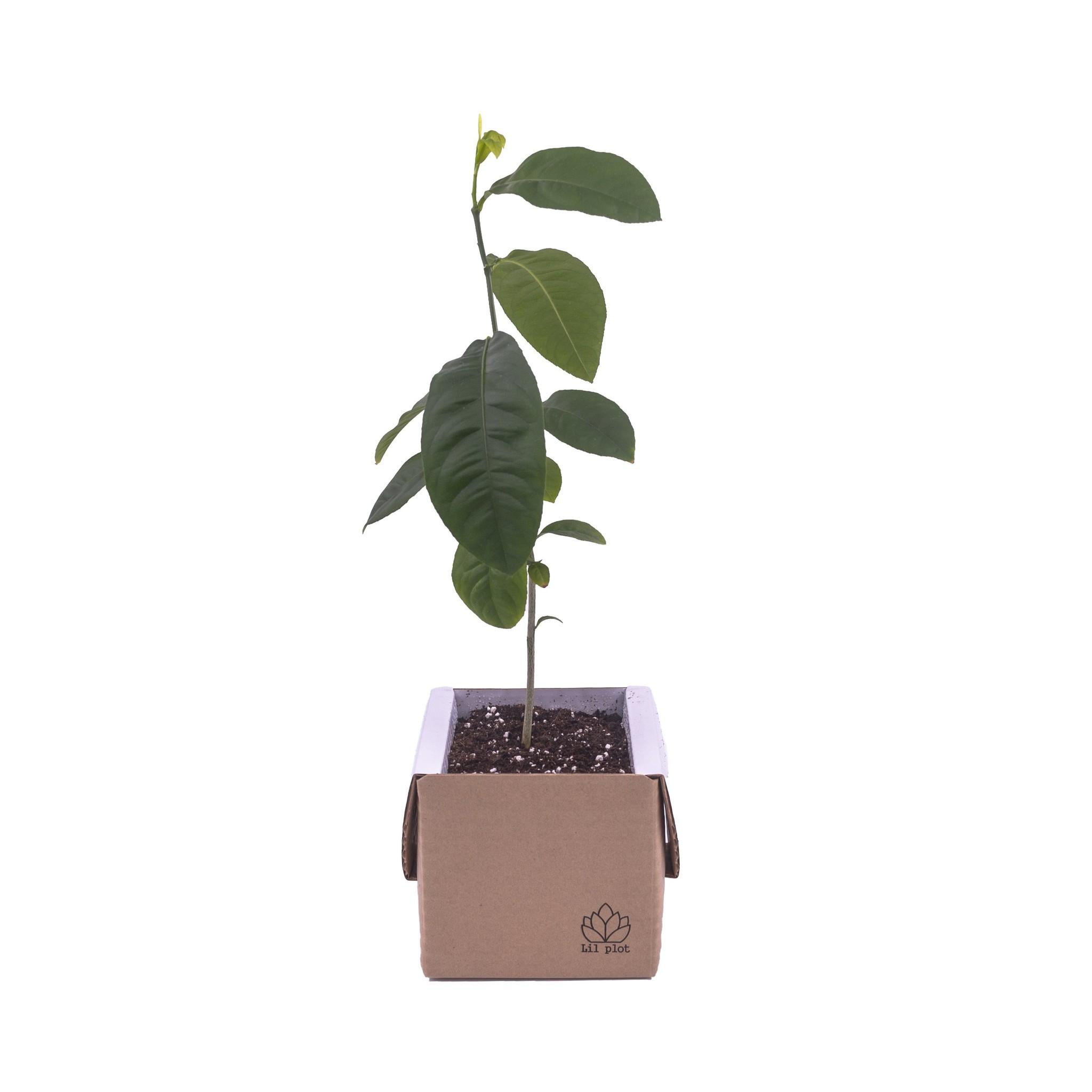 Zitronenbaum Anzuchtset