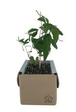 Eukalyptusbaum Anzuchtset