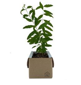 LIL PLOT / Pomegranate Tree Growing Kit