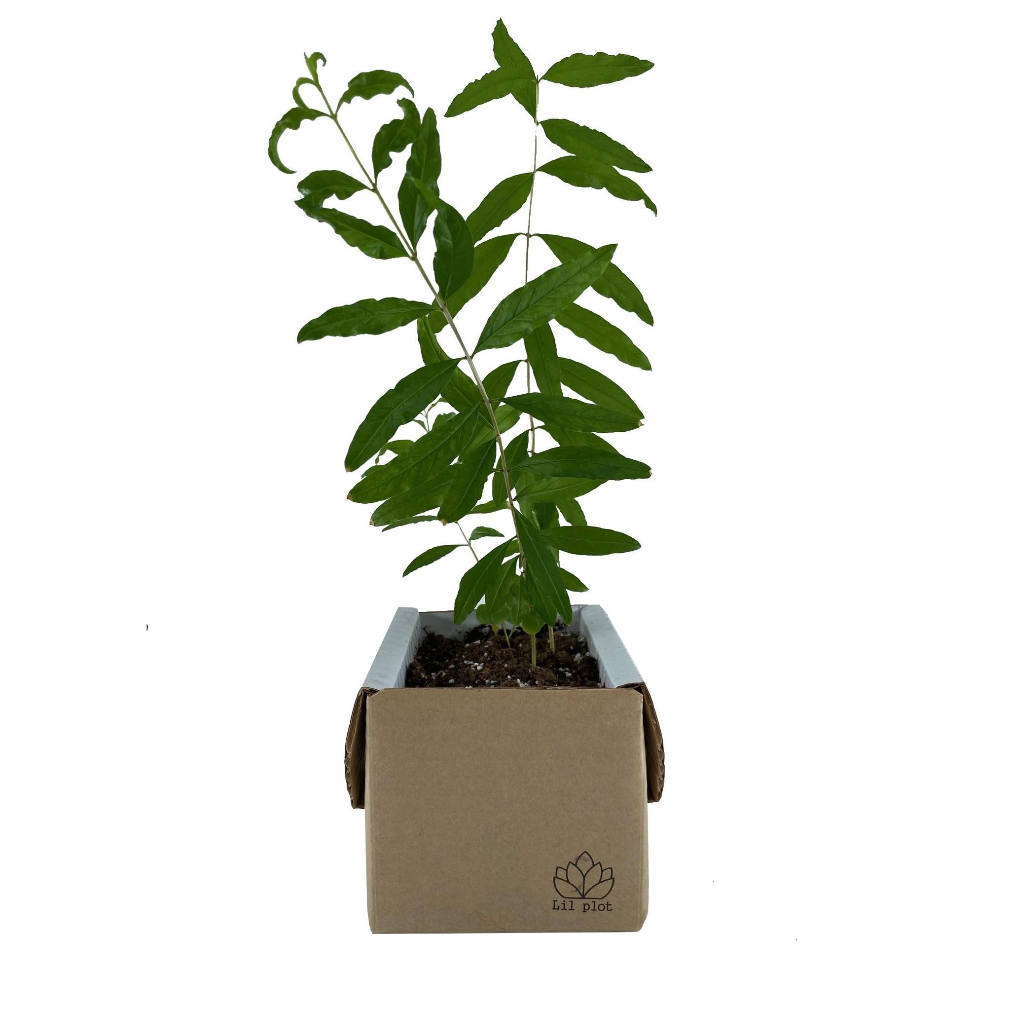 Pomegranate Tree Growing Kit