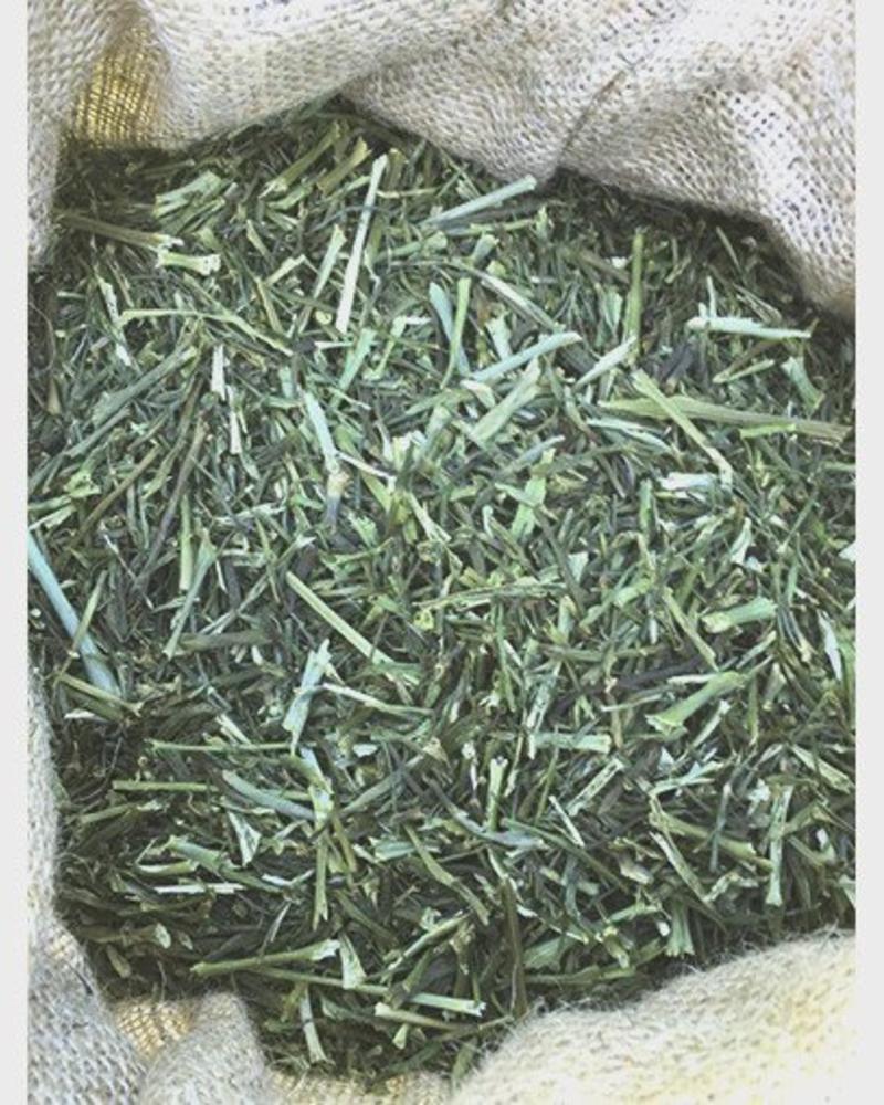 Dill - Anethum graveolens