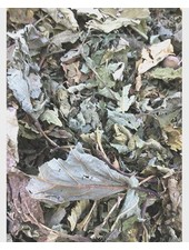 Hazelnut leaves 100 gr - 1kg
