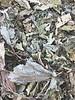 Hazelnut leaves - Corylus avellana