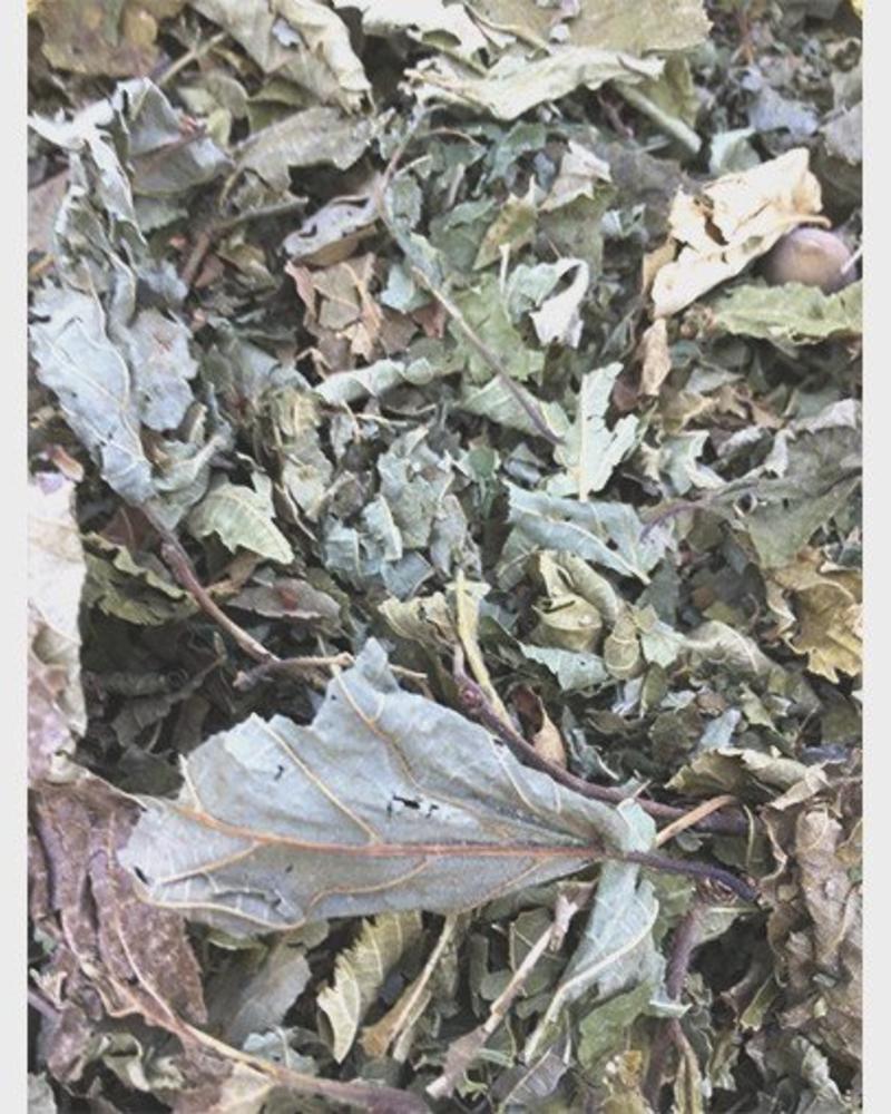 Feuilles de noisettes - Corylus avellana