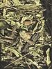 Ribwort plantain - Plantago lanceolata