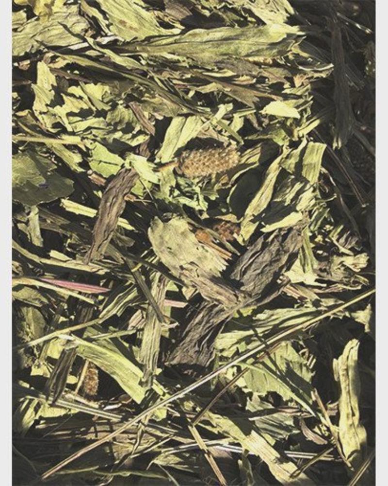 Smalle weegbree - Plantago Ianceolata