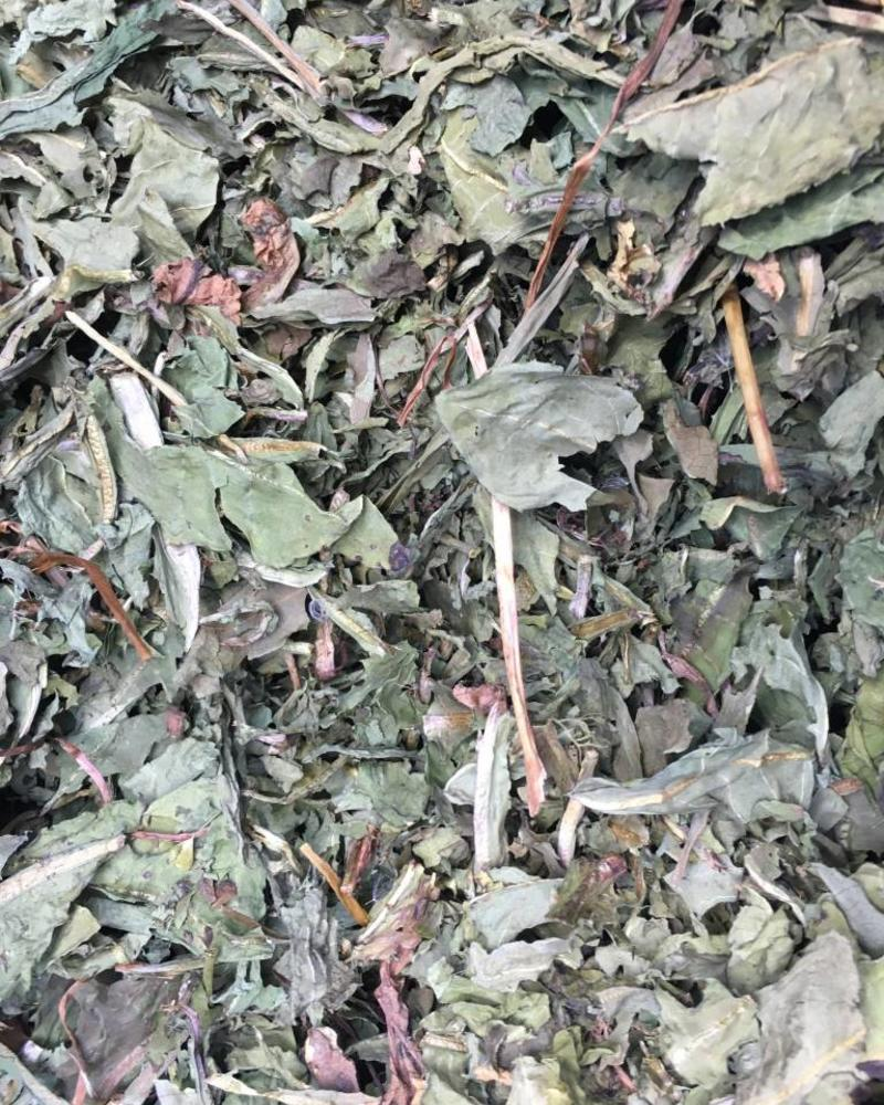 Dandelion leafs first choice - Taraxacum officinale