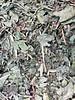 Paardenbloemblad 1ste keuze - Taraxacum officinale