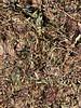 Red clover flowers - Trifolium pratense