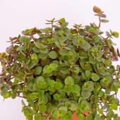 Voedergras (Cyperus zumula), BIO