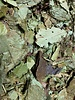 Feuilles de Cerisier gr. gewicht