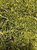Coriandre - Coriandrum sativum